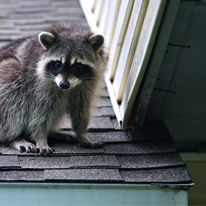 Raccoon Control Services