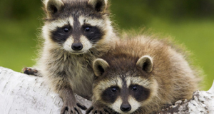 Got a Wildlife Animal in Your Home? Never Try The Following 5 Things!