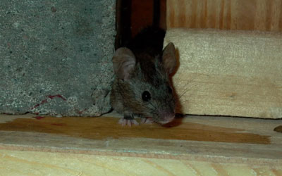 5 Critters That Invade Your Basements & Attics