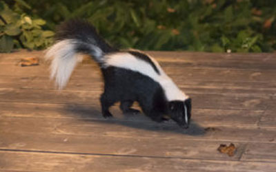 Skunks Under Your Deck? Call Out For Wildlife Removal Services