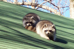 How To Remove Raccoon From Your Home Humanely