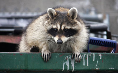 How To Keep Raccoon Away From Your Property