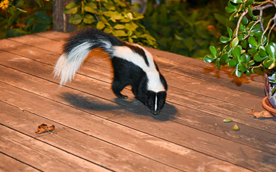 3 Bad Effects That A Skunk Spray Can Cause To Humans