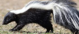 How To Tell I Have Skunk I...