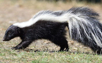 How To Tell I Have Skunk In My Yard?